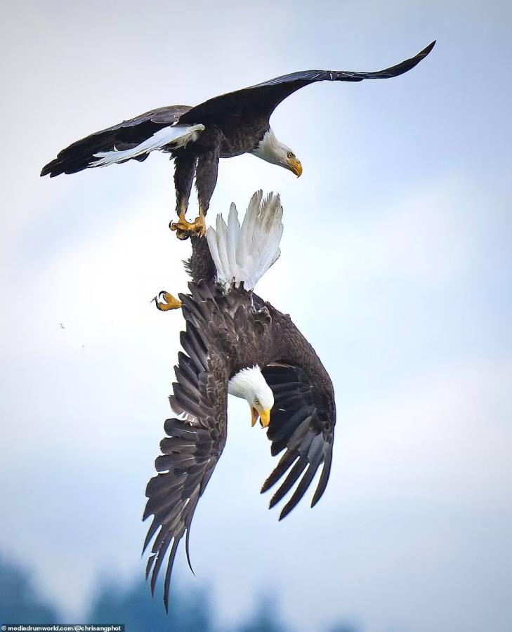 Воздушный бой орлов