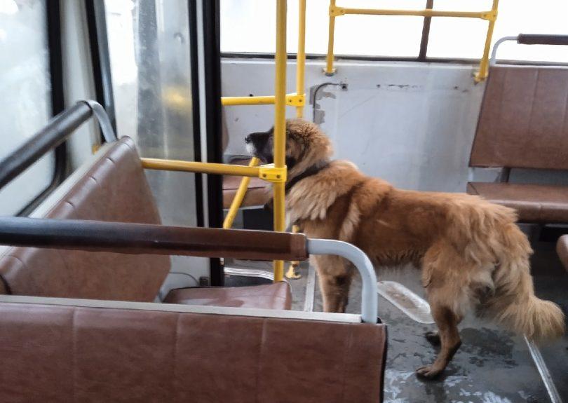 Костромской пес повадился ездить «зайцем» на автобусах